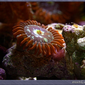 Zoanthid polyp