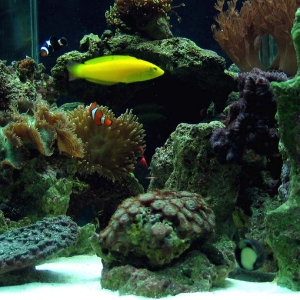 Canary or Coris Wrasse
