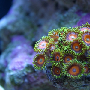 Green Zoas with Orange Centers