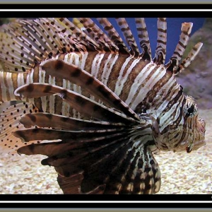 Lionfish at New England Aquarium