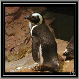 Penguin at New England Aquarium