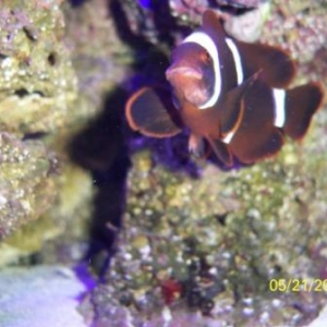 clownfish issue