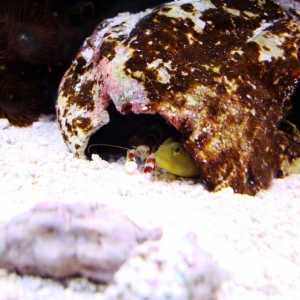 Yellow Watchman and Pistol Shrimp
