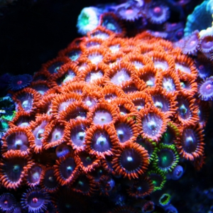 Favorite Red/Orange Zoas