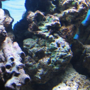 Green Coralline algae growth