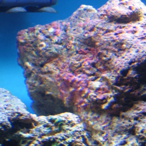 Red/Purple Coralline algae growth