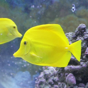 2yellowtang
