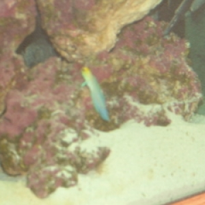pearly jawfish - 1st fish