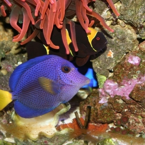 Purple tang, Hippo Tang and RBT