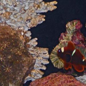 Clownfish Goby and new Daisy Coral