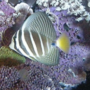 Sailfin Tang at Night