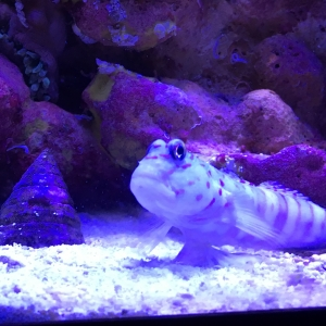 Pink spotted watchman goby