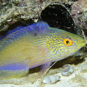 Rhomboid fairy wrasse