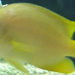 Yellow_Fish_Picture