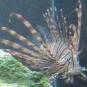 My new Lionfish