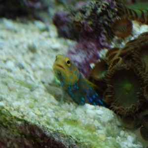 Blue Spot Jawfish