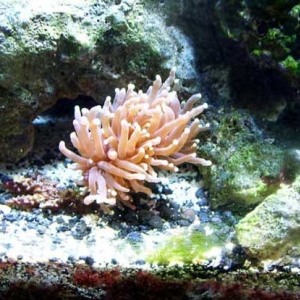 Torch Coral