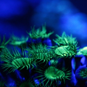 green_button_polyps