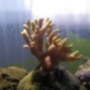 what is this? i was told its acropora