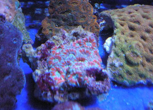 Acan Lord Colony