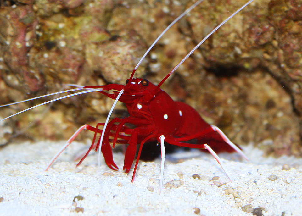 BloodShrimp2