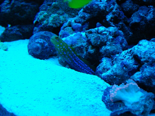 Blue Dot Jawfish under actinics