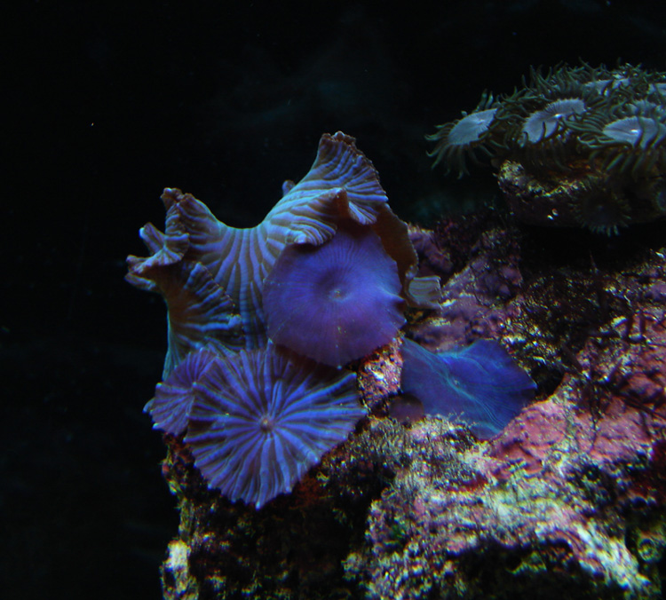 blue shrooms and button polyps