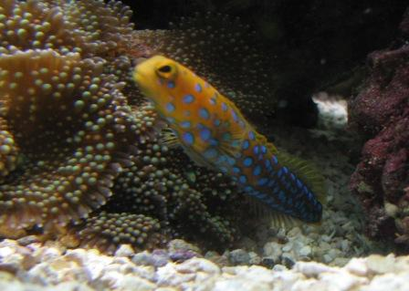 Bluespot Jawfish Day 6