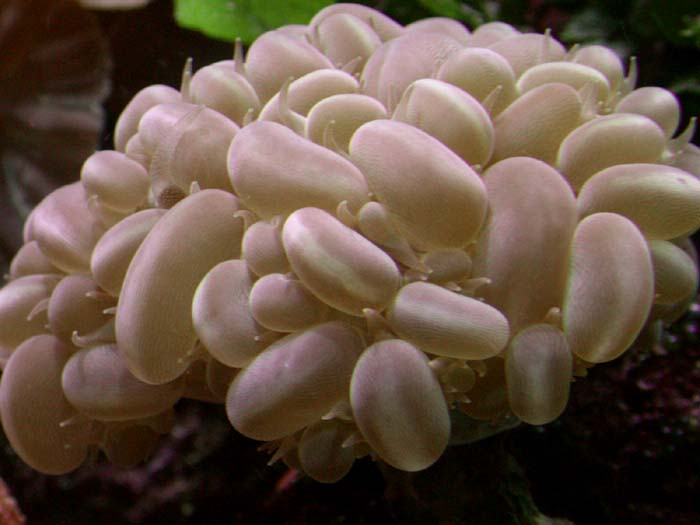 Bubble coral (Plerogyra sinuosa)