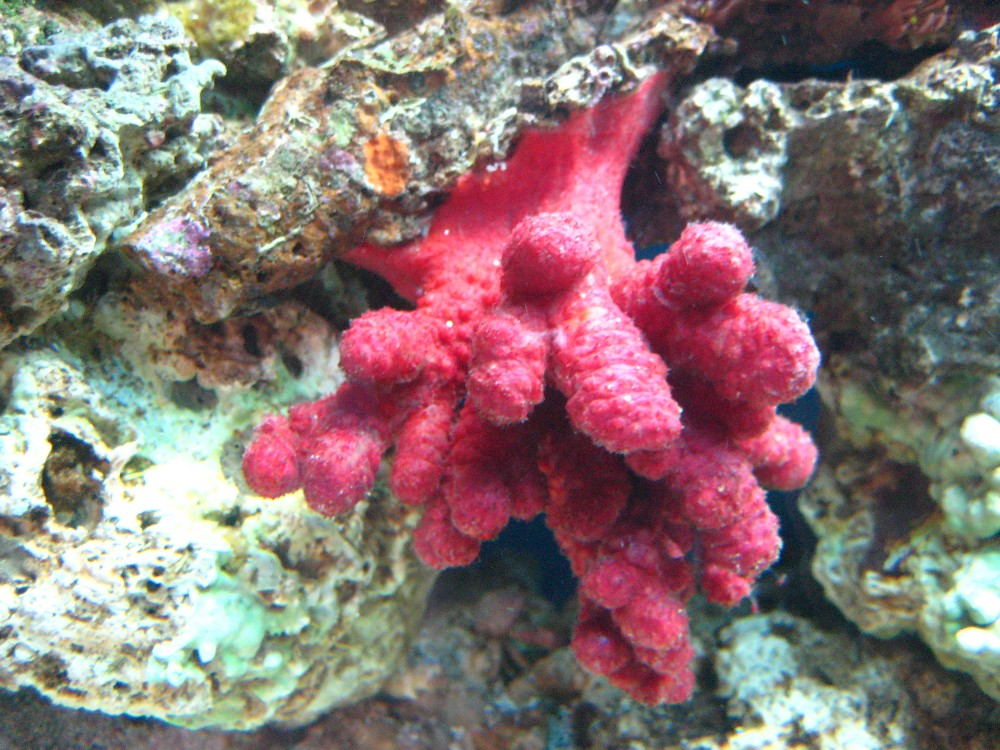 Chili Coral - sleeping *shhh*