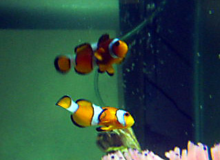 clownfish_dance
