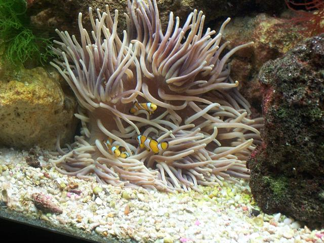 Clowns in a Long Tenacle Anemone