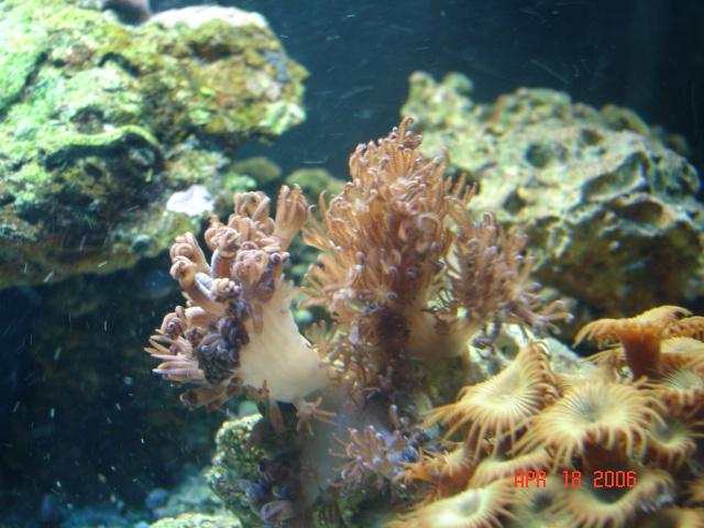 Corals in 12 gal Aquapod