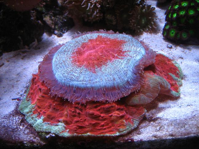 donut coral at feeding time