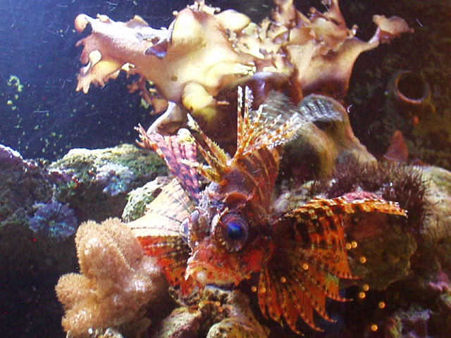 Dwarf Zebra Lion Fish
