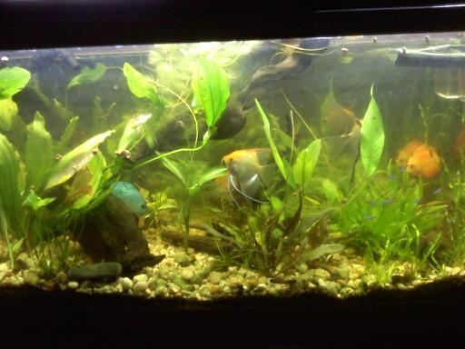 Freshwater Discus Planted Tank