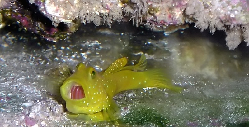 Gaping goby
