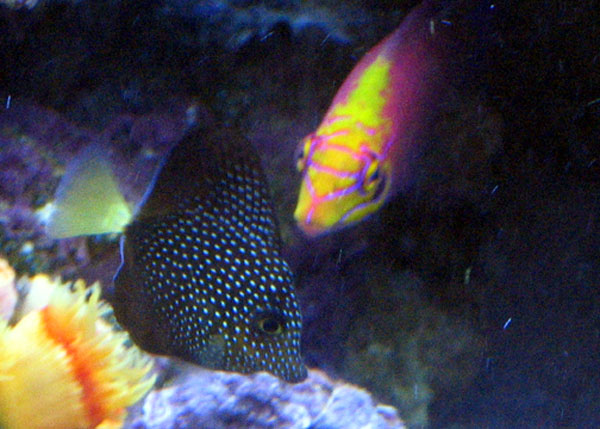 Gem Tang and Mystery Wrasse