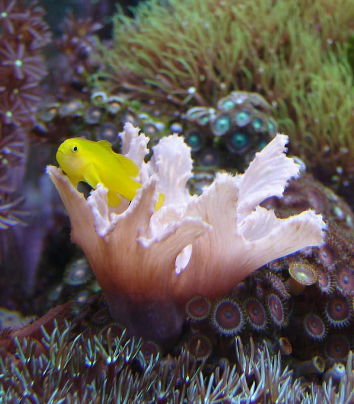 Goober the Yellow Clown Goby