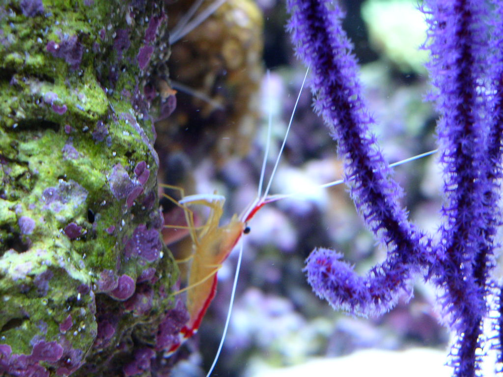 Gorgonian and Shrimp