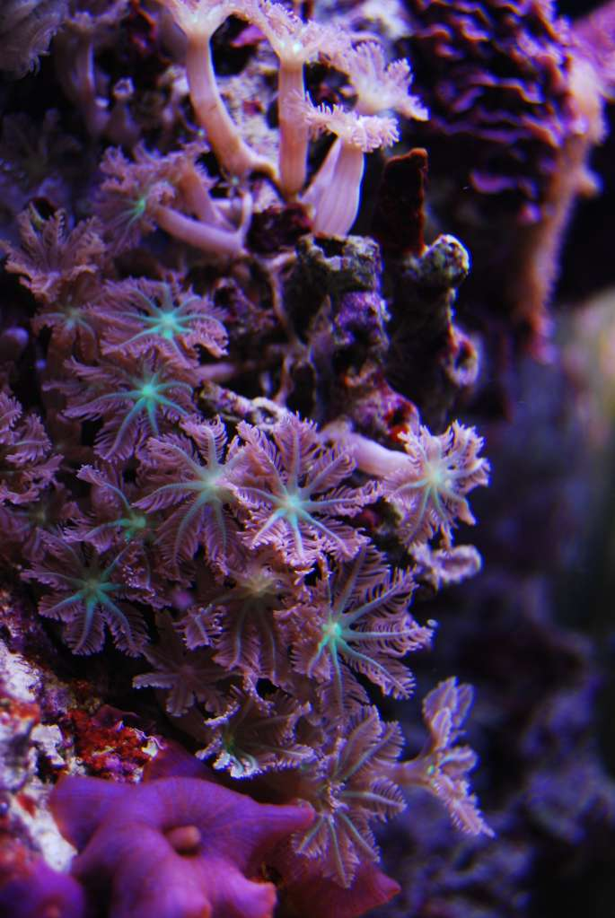 Green centered clove polyps