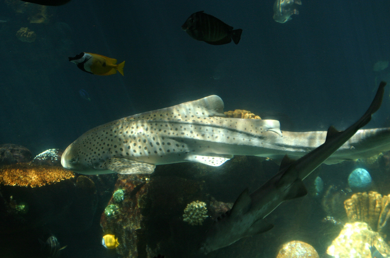 Leopard Shark Part 2