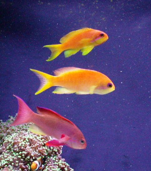 Lyretail Anthias family