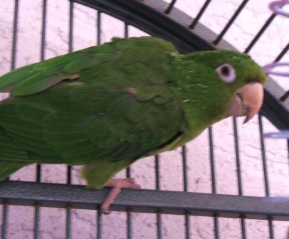 Max White Eyed Conure