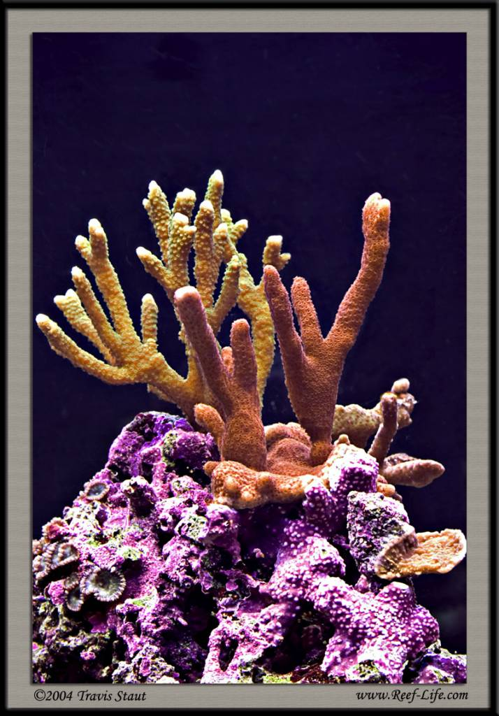 Montipora Digitata Forest