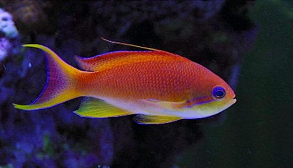 My male Anthias