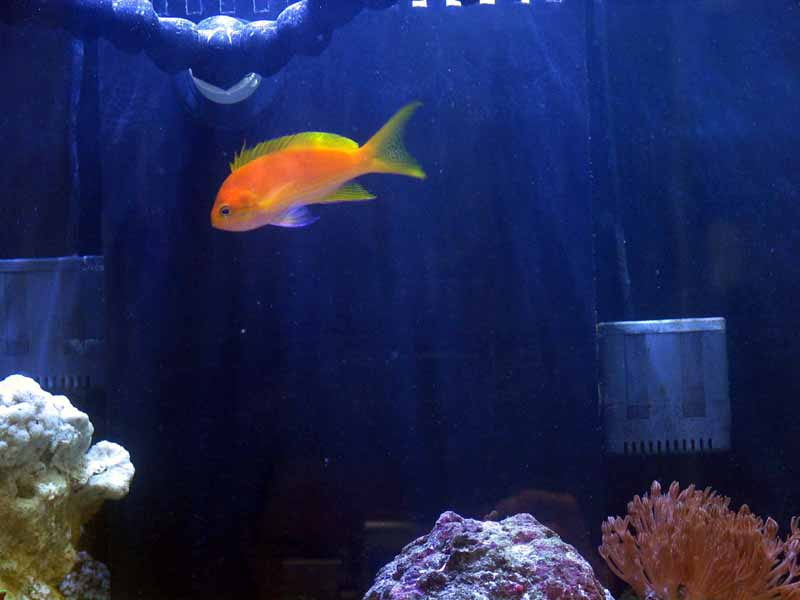 Orange Anthias