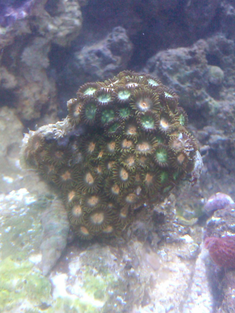 Orange&Green Zoanthid colony
