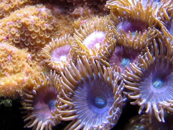 Pink Planet Zoanthids