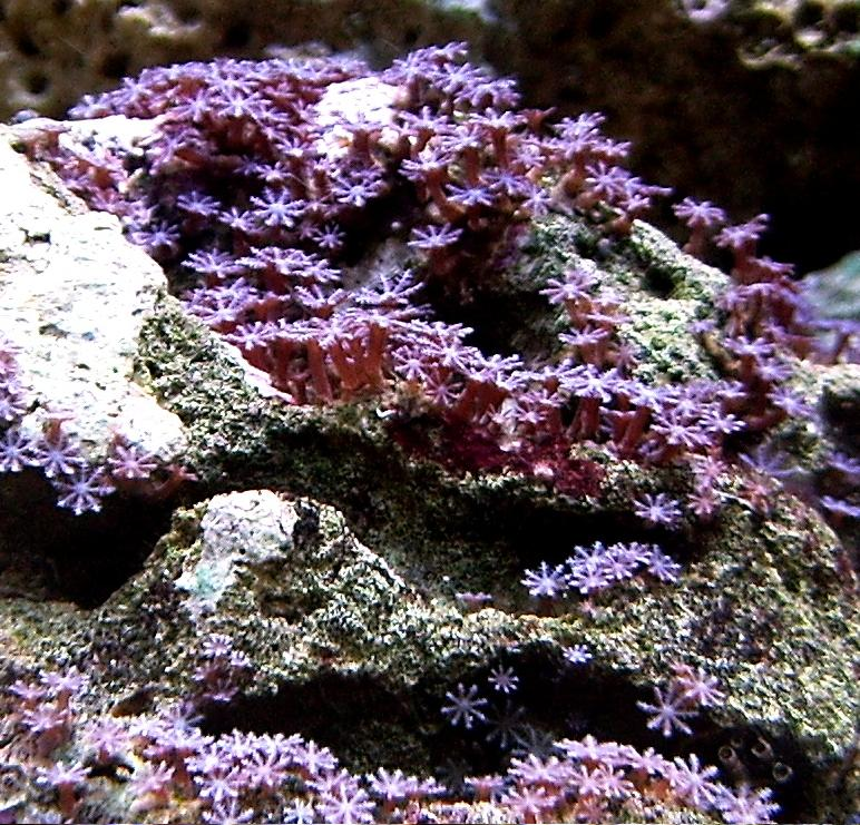 purple Encrusting Anthelia